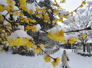 雪景色の中で愛らしい黄色の花を咲かせるロウバイ=近江八幡市安土町で