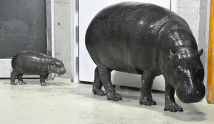 母親のノゾミと室内展示場内を歩くコビトカバの赤ちゃん=能美市のいしかわ動物園で(同園提供)