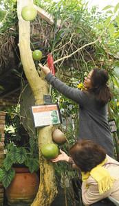 幹から真ん丸の果実が成長したフクベノキ=県中央植物園で