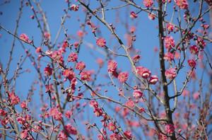 青空に紅色が映えるウメの花=豊川市市田町の赤塚山公園で
