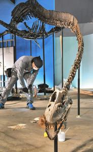 首長竜「エラスモサウルス」の全身骨格化石など新たな常設展示の準備が進む館内=勝山市の県立恐竜博物館で