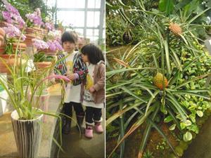 (左)鮮やかな花が滴のように垂れて咲き、「女王の涙」と呼ばれるヨウラクツツアナナス(手前)(右)茎の先端に生育したパイナップルの果実=いずれも県中央植物園で