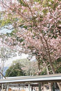 満開が間近となっている河津桜=尾鷲市北浦町の尾鷲神社で