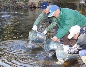 小駄良川に成魚を放流する組合員ら=郡上市八幡町初音で