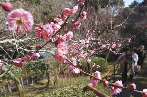 穏やかな陽気の中、ほのかに甘い香りを放つ梅の花=大津市の石山寺で