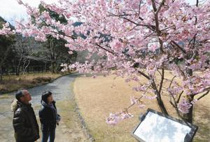 色鮮やかな河津桜を楽しむ来園者=紀北町便ノ山で
