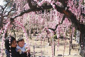 見頃を迎えたしだれ梅を楽しむ親子=津市藤方の結城神社で