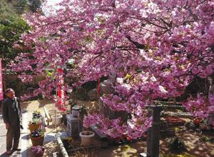 見頃を迎えている「てんれい桜」=志摩市大王町波切の大慈寺で