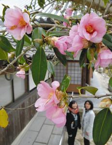 淡いピンク色の花が訪れる人を和ませるワビスケツバキ=甲賀市水口町の大池寺で