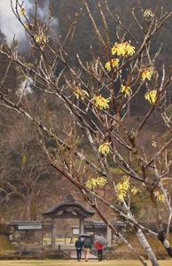 修復中の唐門を背に、春の訪れを告げるマンサク=福井市の一乗谷朝倉氏遺跡で