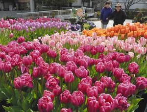 色鮮やかに咲き、来園者の目を楽しませるアイスチューリップ=草津市の水生植物公園みずの森で