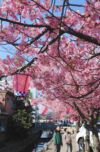 満開となった寺町通り商店街の河津桜=桑名市北寺町で