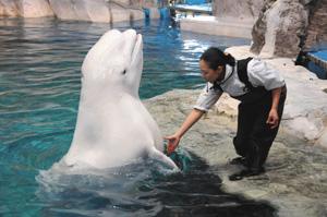 一般公開初日に胸びれで「握手」のパフォーマンスを披露する雄のベルーガ=名古屋市港区の名古屋港水族館で