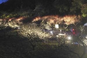 ライトアップされる梅林=彦根市の彦根城で
