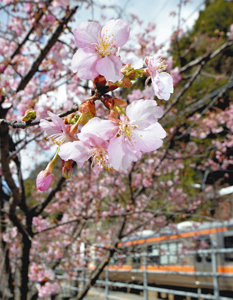 見頃を迎え淡いピンク色の花を咲かすカンザクラ=天龍村のJR飯田線伊那小沢駅で
