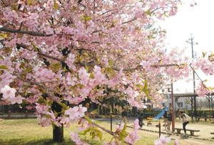 青空に映えるピンク色の花を咲かせた河津桜=一宮市萩原町戸苅の萬葉公園で