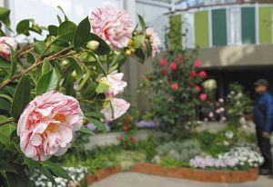華やかなツバキが咲きそろったガーデンルーム=安城市赤松町のデンパークで