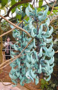 来園者の目を楽しませるヒスイカズラの花=草津市の水生植物公園みずの森で
