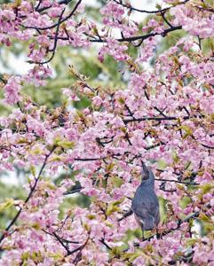 艶やかに咲く河津桜の蜜を吸うヒヨドリ=坂井市で