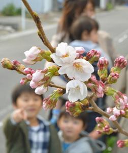 暖かい陽気に開花したソメイヨシノの標本木=岐阜市加納天神町で