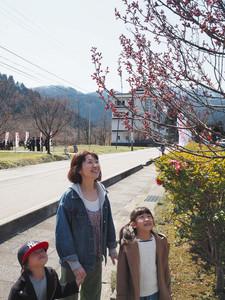 ピンクに色づいた桜のつぼみに目を凝らす親子連れ=砺波市庄川町金屋で