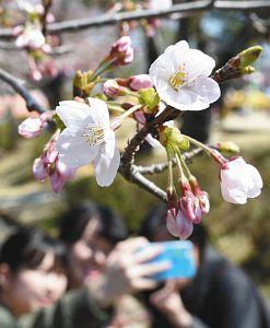 暖かい陽気に誘われ開花したソメイヨシノ=津市広明町の津偕楽公園で