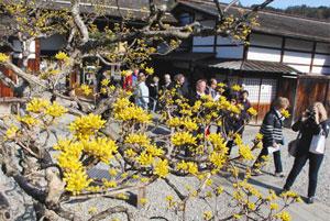 黄色い花が咲くサンシュユ=高山市八軒町の高山陣屋で