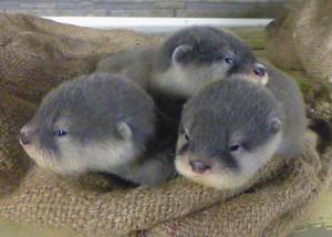 すくすくと成長しているコツメカワウソの赤ちゃん=3日、坂井市の越前松島水族館で(同館提供)