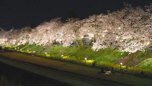 ライトアップされた桜並木=南砺市福光で