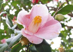 ピンクの花=津市芸濃町河内の浄得寺で