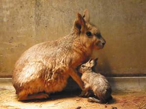 母フラウ(左)に甘えるマーラの赤ちゃん=石川県能美市のいしかわ動物園で(同園提供)