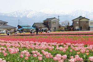 北アルプスを背景に色とりどりのチューリップが咲き競う「にゅうぜんフラワーロード」=入善町内で