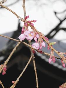 例年よりやや遅く開花した光前寺のしだれ桜=駒ケ根市で