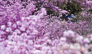 見頃を迎え、園内を染めるミツバツツジ=南木曽町読書の天白公園で