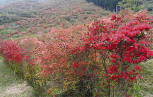 山肌を赤く染めるヤマツツジ=大紀町崎の大平つつじ山で