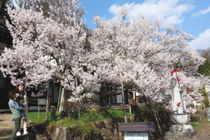 満開を迎えた県天然記念物の鎮護桜=飛騨市古川町袈裟丸で