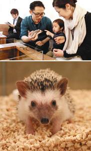 (上)ハリネズミと触れ合う親子(下)愛らしい顔立ちのハリネズミ=いずれも金沢市片町で