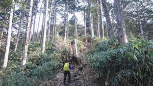 コウヤマキの樹林帯を登る=いずれも長野県南木曽町で