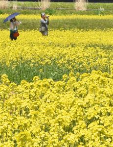 黄色に埋め尽くす菜の花畑=国営アルプスあづみの公園堀金・穂高地区で