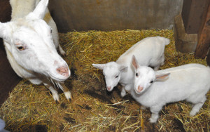 すくすくと育つ双子の子ヤギ。左は母親の「つばき」=塩尻市のチロルの森で