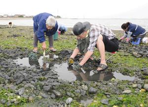 アサリ採りに熱中する潮干狩り客たち=美浜町布土で