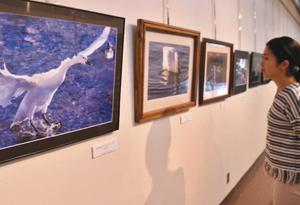 さまざまなハクチョウの表情をとらえた写真展=安曇野市豊科郷土博物館で