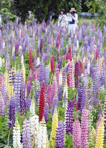 見頃を迎え、色とりどりに咲き誇るラッセルルピナス=志摩市磯部町山原の夏草花園で