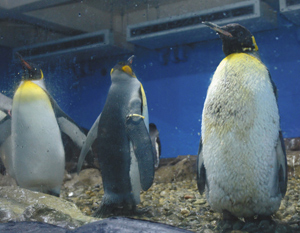 換羽中のオウサマペンギン「ナンバー13」(右)、全て抜け替わると左の2羽のようになる=美浜町の南知多ビーチランドで