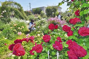 高貴な香りを漂わせ、来園者を楽しませる色とりどりのバラ=坂井市の「恋人に捧げるバラ園」で