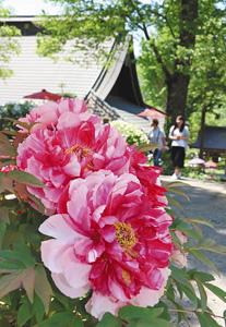 紅白の花など鮮やかなボタンが咲き誇る境内=伊那市高遠町の遠照寺で