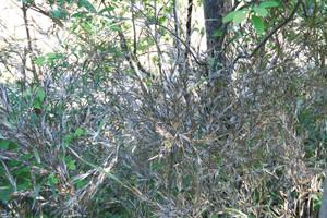 花が咲いた後に枯れたとみられるササ=小松市の憩いの森で