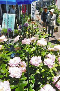 商店街の店先などにバラが飾られた「いなまちバラぶらり」=伊那市で