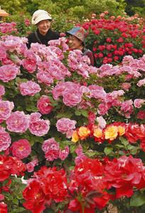 色とりどりのバラが咲き誇る「春のバラまつり」=岐阜県可児市の花フェスタ記念公園で