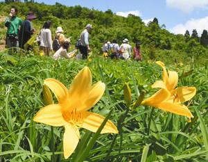 青天の下で咲くニッコウキスゲ=石川県白山市白峰で